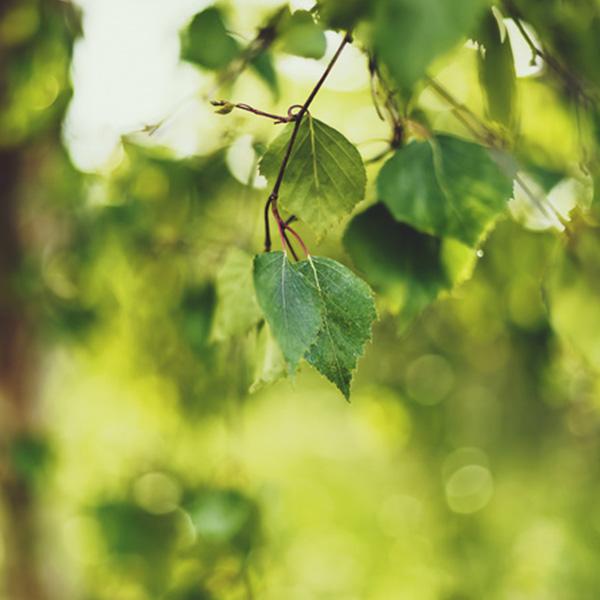 Березовий дьоготь – один з найефективніших цілющих речовин