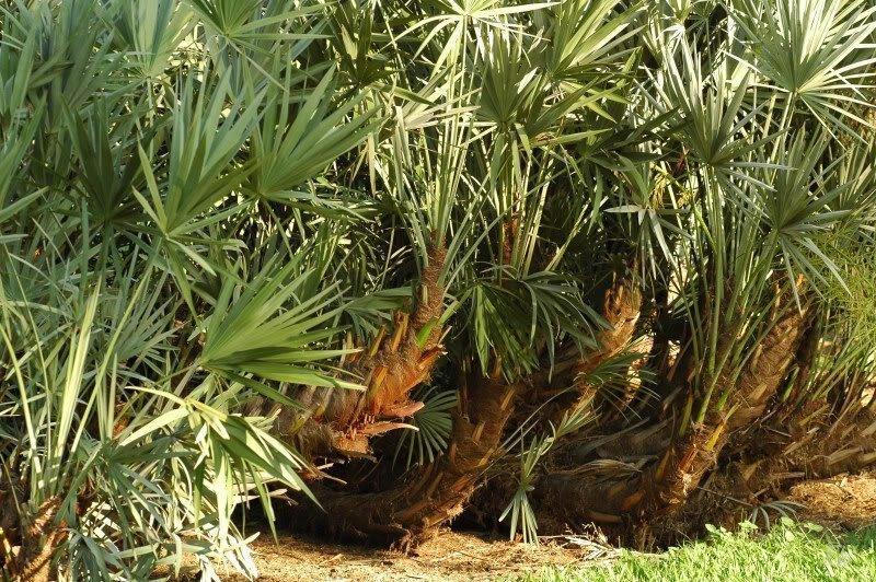 Пальма ползучая (карликовая пальма)